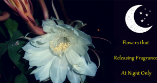 Flowers that Releasing Fragrance At Night Only