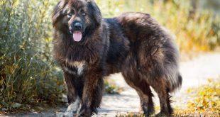 Russian Dog Bear
